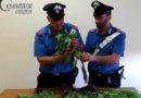 Rovito. Sedici piante di cannabis nel giardino di casa, denunciato cinquantacinquenne
