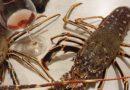 La Calabria che non finisce di stupire: le aragoste nel mare di Amendolara